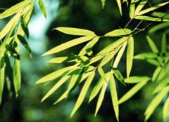 凤尾竹的叶子发黄,我们应该怎么办?