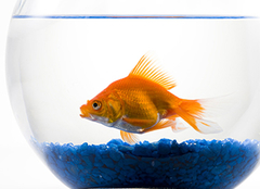 养好金鱼,健康有活力