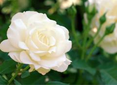 11朵白玫瑰代表什么意思,而不同颜色又有哪些含义?
