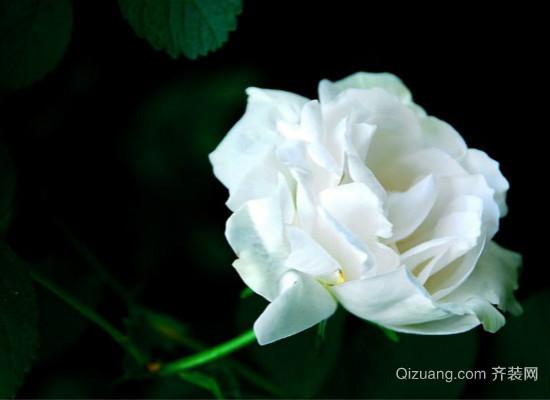 11朵白玫瑰代表什么