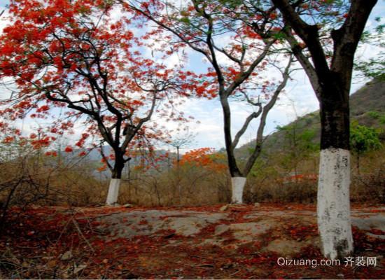 凤凰树图片
