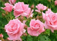 了解粉玫瑰花语,表达你真正的心意