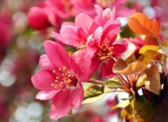 养殖海棠花的方法,再难的栽培技术也会很简单