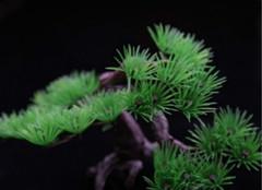 松树种类及相关知识的介绍