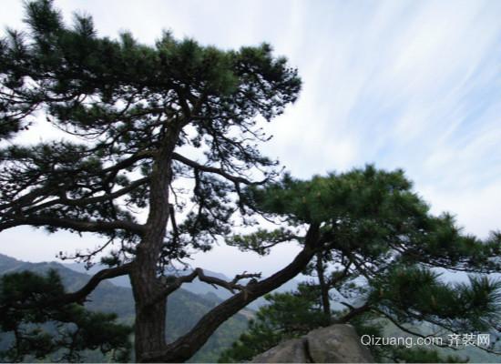 松树的种类