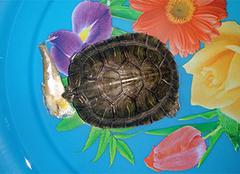 乌龟吃什么食物?养乌龟者需知