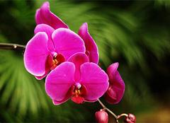 蝴蝶兰的图片以及她的花语、栽培