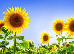 向日葵的花语和传说,唯美而动人