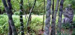 关于龟甲竹的用途,你都造么?