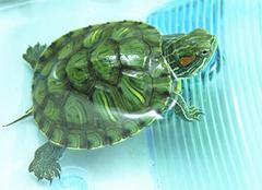 巴西彩龟,丰富你的生活