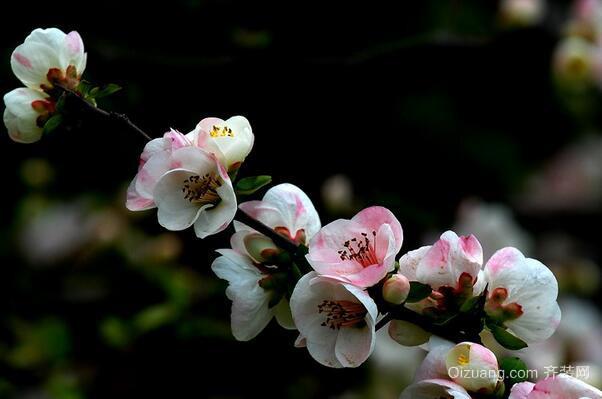 木瓜海棠欣赏图