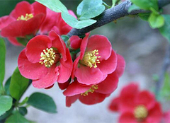 木瓜海棠,花园里一道美丽的风景线