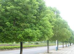 樟树的资料,及其简单介绍