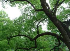 香樟树怎样栽培和管理