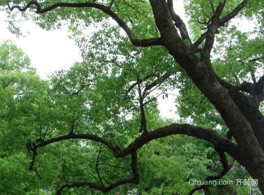 香樟树效果图