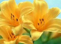 百合花语的来历 百合的花语是什么