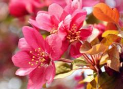 怎样了解海棠花的养殖方法