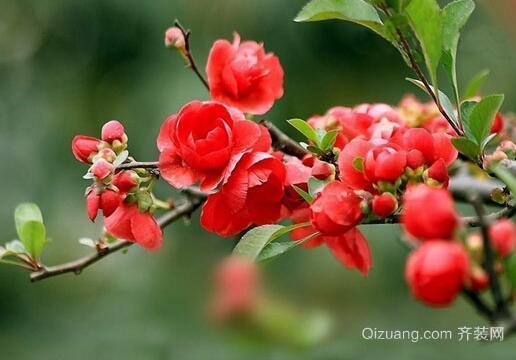 海棠花效果图