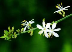 吊兰的种植方法有哪些?