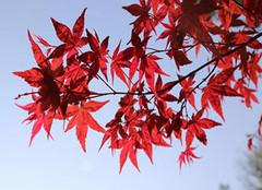 红枫红似火 知秋莫若红枫