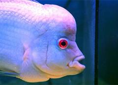 罗汉鱼图片及其养殖方法