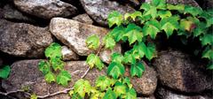你知道长春藤应该怎么养殖吗?