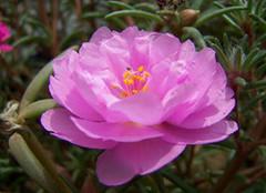 你知道太阳花的花语是什么嘛?