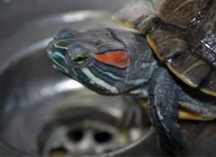 巴西龟得白眼病,我们应该怎么治?