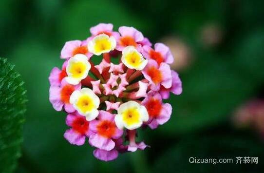 五色梅花欣赏图