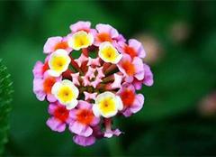盆栽养殖五色梅花的技巧