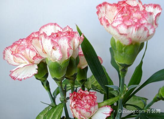 康乃馨的花语