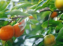 关于杏树的那些事,你都造么?
