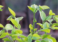 柿子叶的功效与作用有哪些?