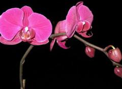 蝴蝶兰的象征意义是什么?
