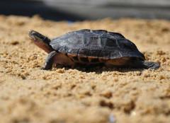 拟鳄龟怎么养?拟鳄龟喂养注意事项