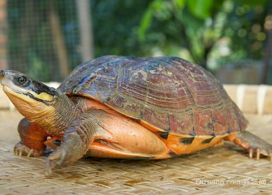 拟鳄龟效果图