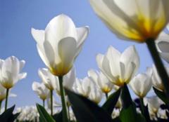 白色郁金香的花语,你都造么?