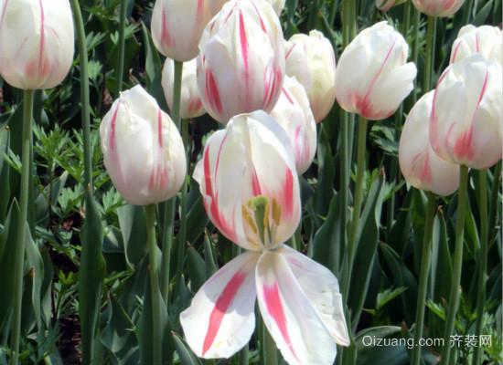 白色郁金香花语
