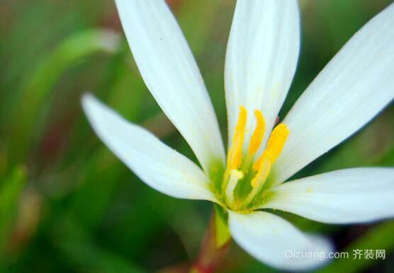 白花葱兰欣赏图