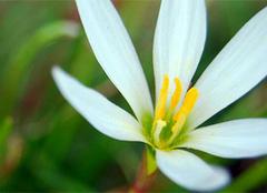精心培育白花葱兰,定会开出美丽的花朵!