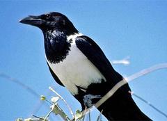 近危动物白颈鸦的介绍和饲养之法
