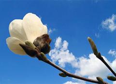 一起来探讨白玉兰的资料及其养殖方法