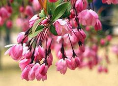 垂丝海棠的栽培方法