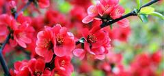 秋海棠花之图片大解析