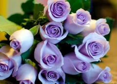 你知道紫玫瑰的花语是什么吗?