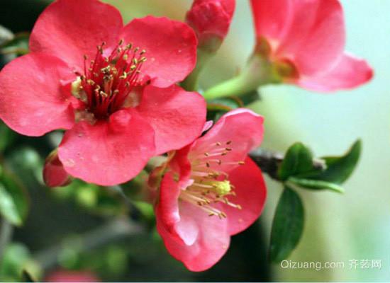 秋海棠花图片
