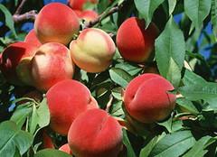 水蜜桃的营养价值及其功效