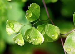 铁线蕨图片,铁线蕨养殖方法和作用