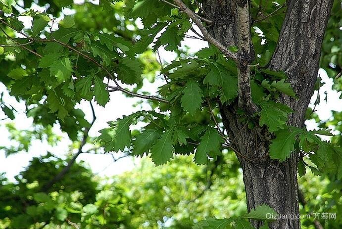 你知道怎样种植橡子树吗?