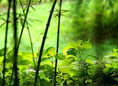 翠竹的象征意义,翠竹的种植